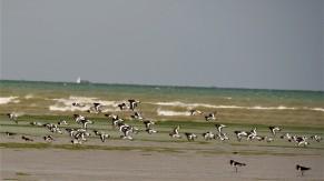 Côtes d'Armomr - huitriers pies en baie de St Brieuc